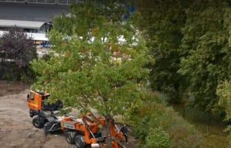Video: Ehitusobjektil päästeti raiest 50-aastane tamm