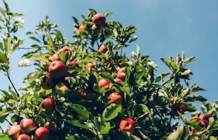 Kas sa teadsid, et piiril kasvav puu on kaasomand?