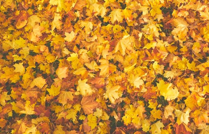 Kas lehtede riisumine on hea mõte või mitte?